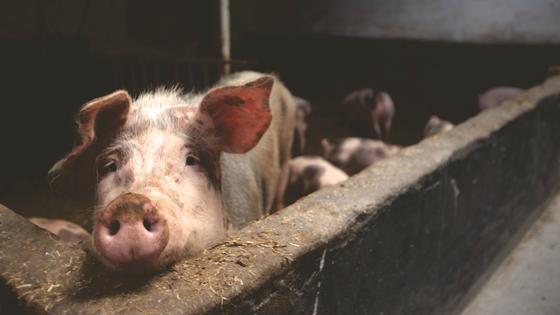 Bilde av gris i grisefjøs