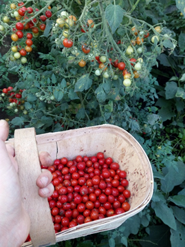 Fresh biodynamic tomatoes straight from the farm to the dinner plate